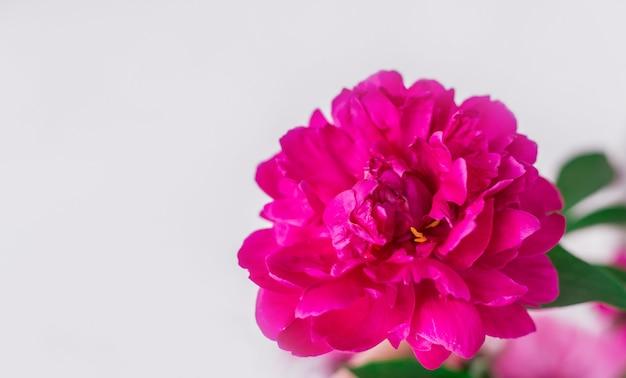 Крупный розовый пион