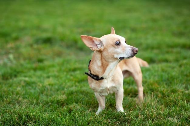 散歩に滑らかなチワワ犬。夏の緑の草に赤毛のチワワ。秋の日に公園で犬が散歩します。ペットの概念。野生の幸せなペット。犬と一緒に歩きます。犬が待っています