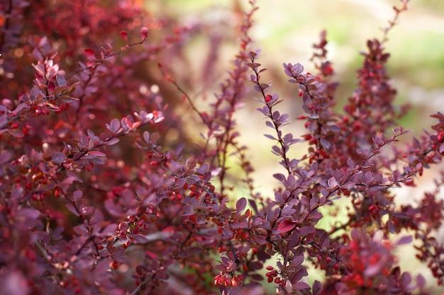 赤い葉と果実の秋メギブッシュの枝