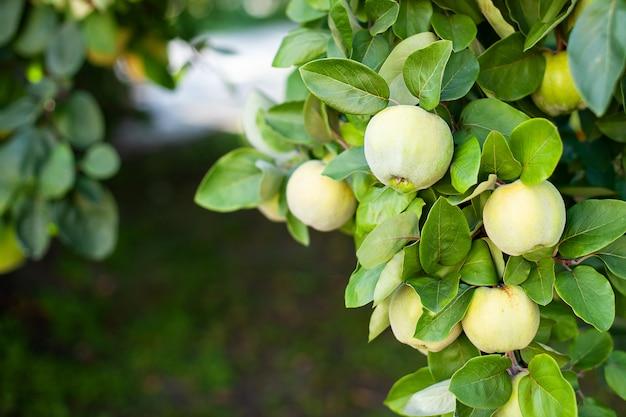 熟したマルメロの果実は、秋の庭、クローズアップで緑の葉を持つマルメロの木に成長します。収穫のコンセプト。ビタミン、菜食主義、果物。リンゴ園で木の枝にぶら下がっている有機リンゴ