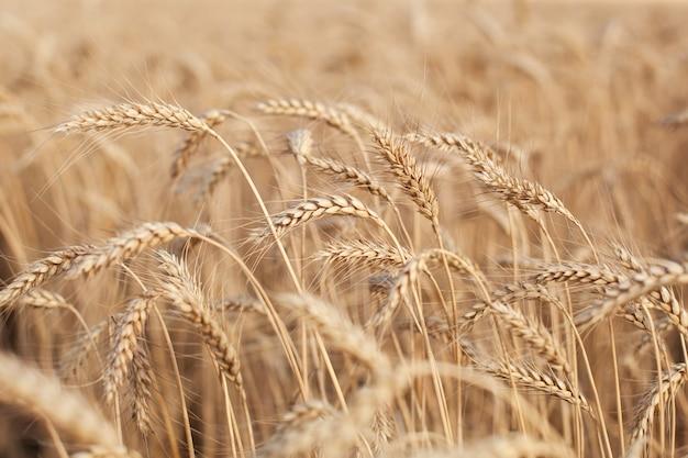 晴れた日に黄金の小麦畑。小麦畑。黄金の小麦の耳がクローズアップ。輝く夕日の下の田園風景。クローズアップセレクティブフォーカス。小麦の小穂。収穫、農業、畑