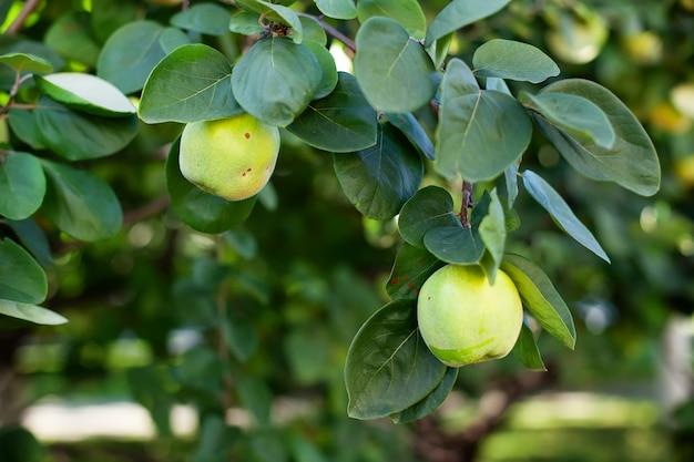 В летнем саду растут спелые плоды айвы. зрелый плодоовощ айвы растет на дереве айвы с зеленой листвой в саде осени, крупным планом. концепция сбора урожая. витамины, вегетарианство, фрукты.