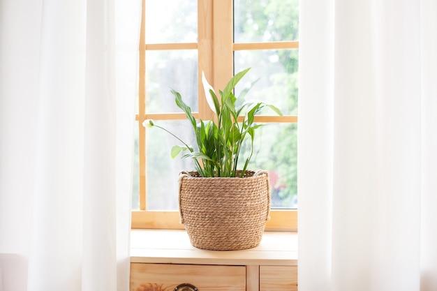 ストローポットのスパティフィラムホーム植物は窓辺に立っています。窓辺の家の植物。家の園芸の概念。自宅の窓辺に植木鉢のスパティフィラム。スカンジナビア。テキスト用のスペース