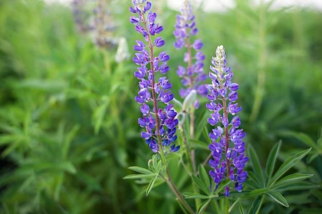 Люпин, люпин, люпин поле с розовыми фиолетовыми и синими цветами. куча люпин летом цветок стены. цветущие цветы люпина. поле люпина. фиолетовые весенние и летние цветы. концепция природы