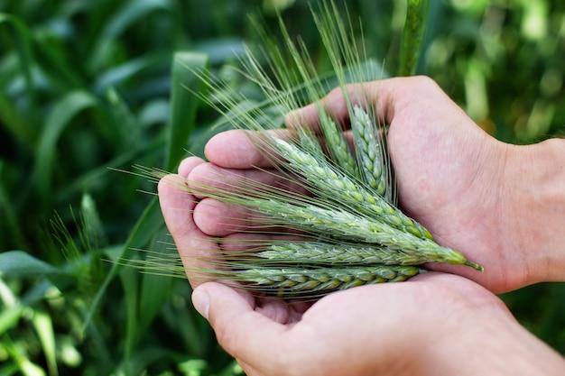 手で小麦の農家。農家の手で小麦の穂。手で小麦。シリアルパン用の種と茎。