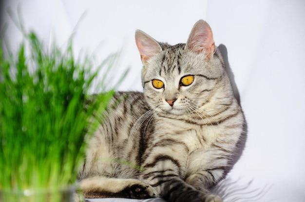 猫のための草。猫は草を食べる。灰色の猫