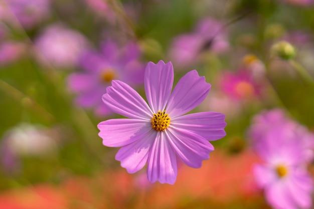 Осенний цветок космос