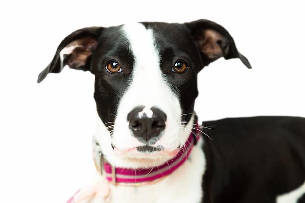 かわいい黒白い背景で分離されたカメラを見て白い犬