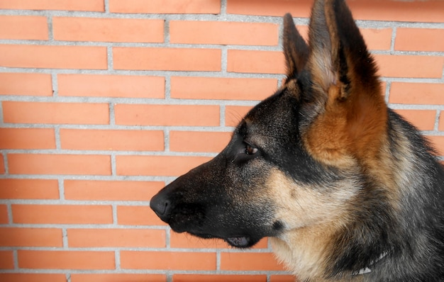 Немецкий шедевр профиль молодой щенок