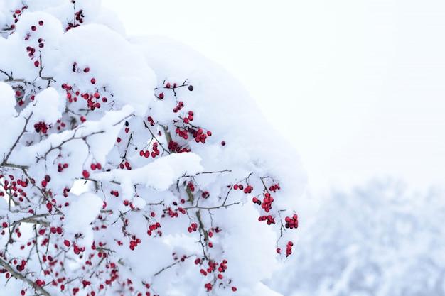 積雪下の赤いサンザシの果実