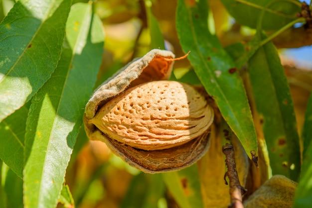 木の枝に熟したアーモンド