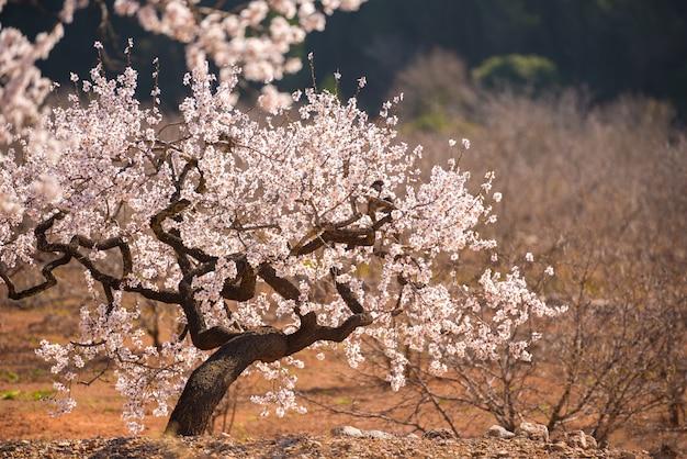 スペインの風景の中に開花アーモンドの木