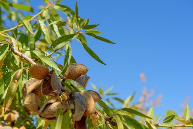 Спелый миндаль на ветке дерева с зелеными листьями, крупным планом