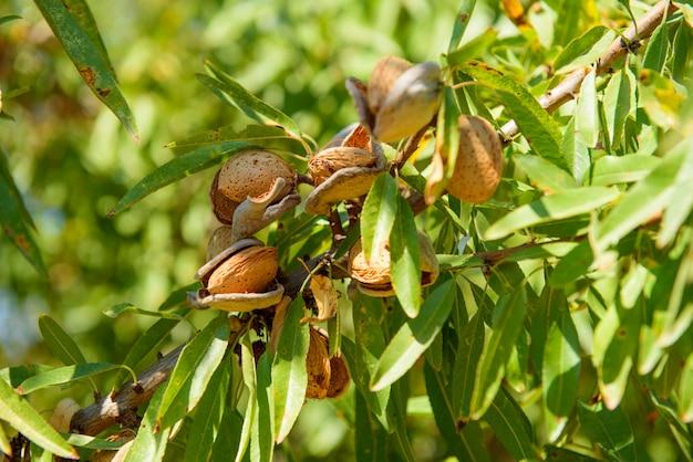 Спелый миндаль на ветке дерева