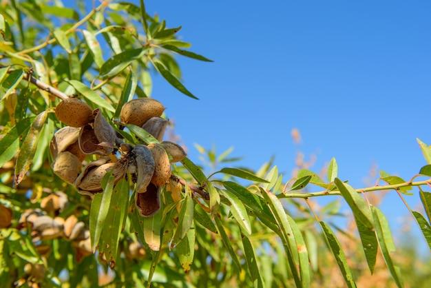 Спелый миндаль на ветке дерева с голубым небом и копией пространства