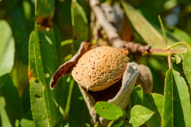 Спелый миндаль на ветке дерева, макро