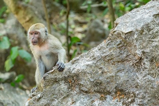 大きな岩の上の猿。