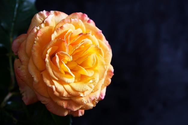 暗い表面に新鮮なオレンジローズのクローズアップ。不機嫌そうな花のコンセプト。テキスト用のコピースペース
