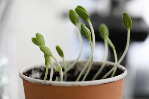 Молодые зеленые ростки в глиняном горшочке