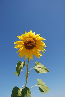 太陽の花畑