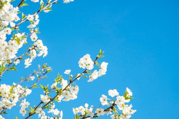 Вишневое дерево с цветами.