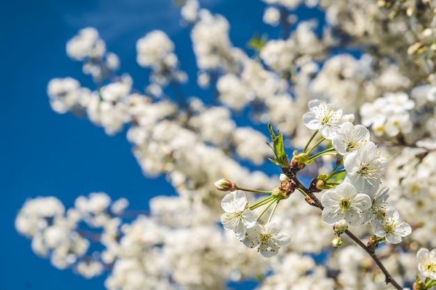 Белые весенние цветы с синей стеной