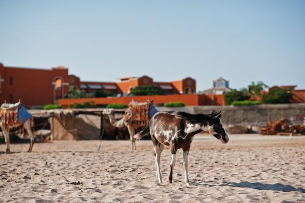 Маленькая лошадь на пляже гуляет по песку