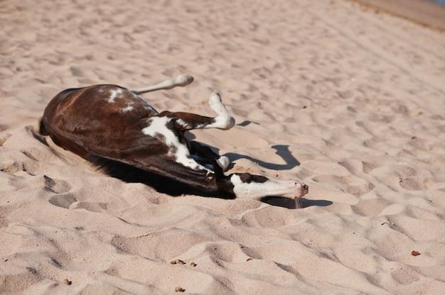 Маленькая лошадь на пляже, играя на песке