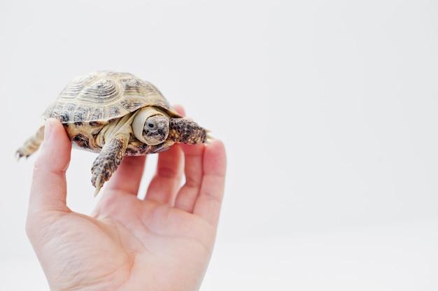Азиатская сухопутная черепаха под рукой человека, изолированные на белом