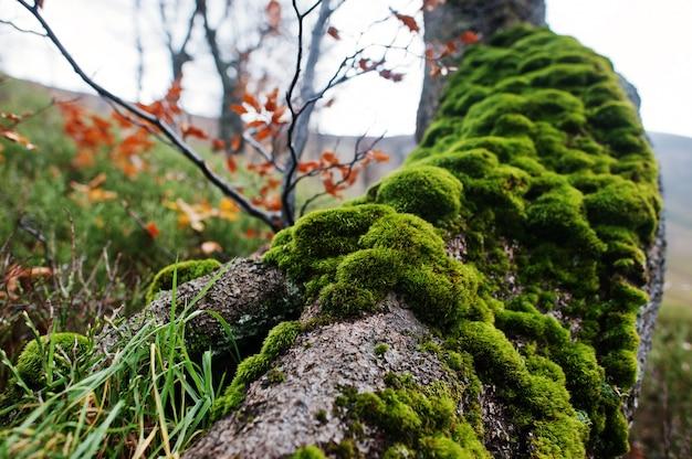 根の樹皮のコケ。