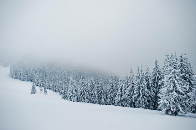 チョミアック山の雪に覆われた松の木、カルパティア山脈の美しい冬の風景、ウクライナ、雄大な霜の自然、
