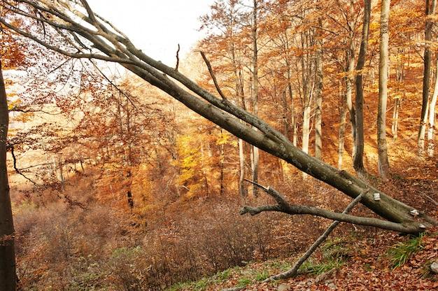 カルパティア山脈の秋の森に木を傾けます。