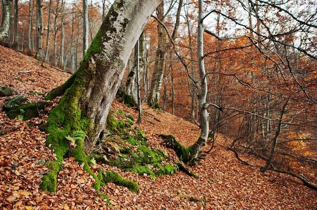 Корень трес с мхом на осеннем лесу