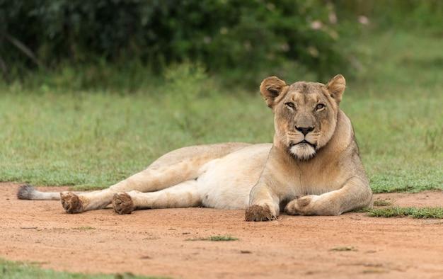 アフリカの公園でライオン