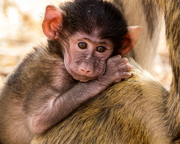 Бабуин в дикой природе, африка