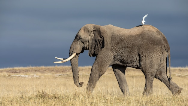 アフリカのアフリカゾウの美しい画像