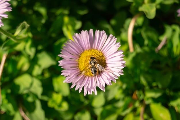 Пчела крупного плана сидя на фиолетовом фиолетовом цветке маргаритки в саде или поле