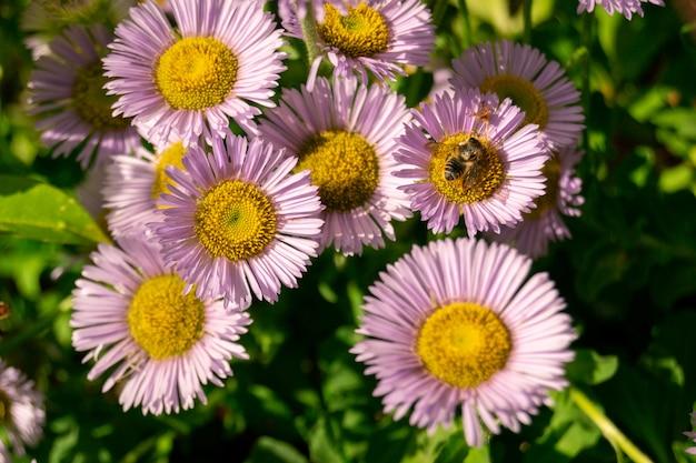 Цветы ромашки и пчелы на зеленом фоне