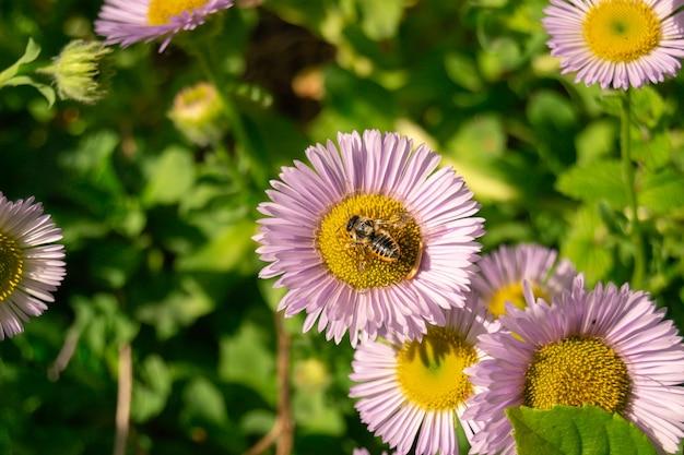Деталь пчелы, пчелы или осы сидя на фиолетовом фиолетовом цветке