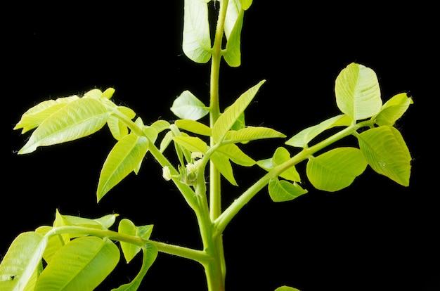 Зеленые листья и мелкие цветы грецкого ореха на темноте.