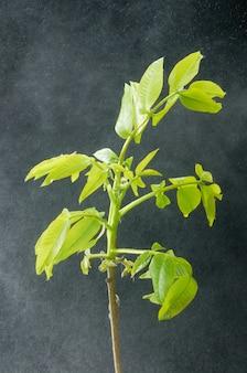Зеленый орех листья в капли воды.
