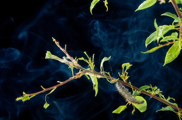 滴のある暗い春の病気の春の植物。害虫と梅枝。梅の幼虫とクモダニの枝に。