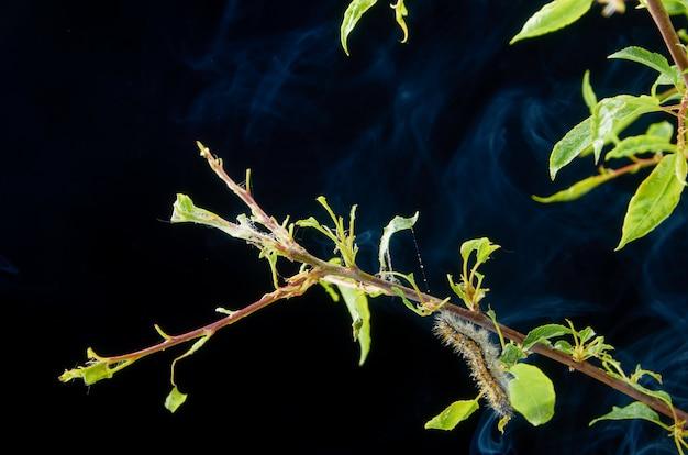 Больные весной сажают на темноте с каплями. ветка сливы с вредителями. на ветке сливы гусеница и паутинный клещ.