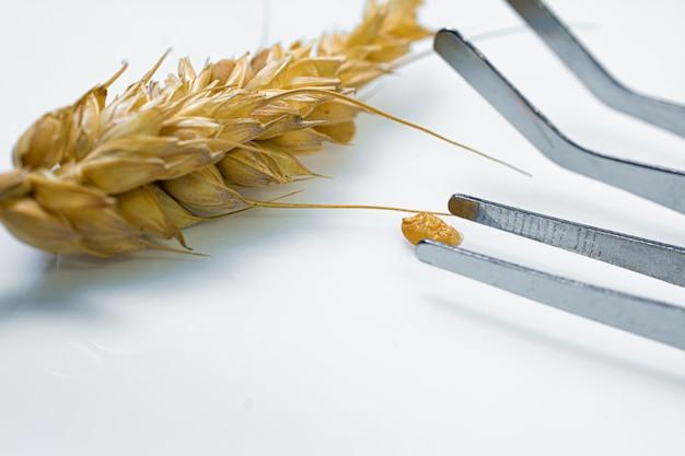 小麦の穂、化学実験室での実験を調べる専門の科学者