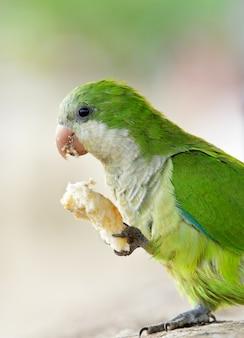 Попугай ест хлеб с лапой