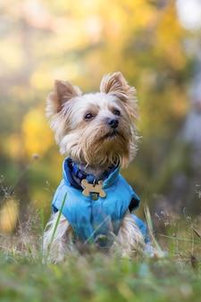 森の中のヨークシャーテリア犬