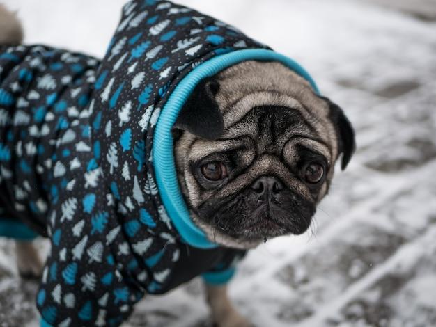 Собака породы мопс в куртке
