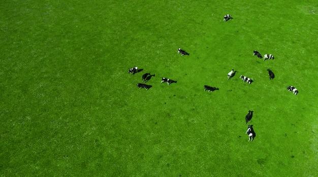 Стадо коров, пасущихся на зеленом лугу вид сверху