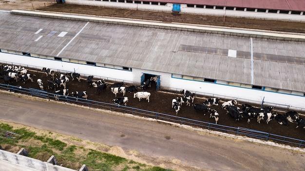 ドローンから農場の景色に牛の群れ