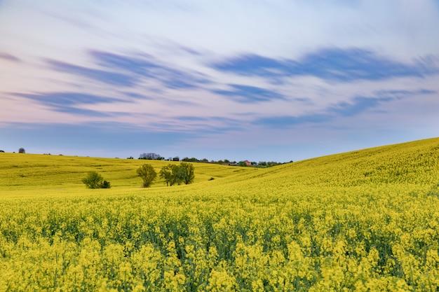 Масличные рапс поля в солнечный день против голубого неба